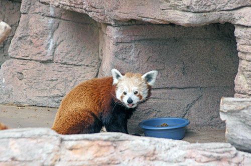 Daisy, red panda