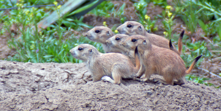 Five Baby Prairie Dogs